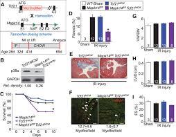 fibroblast specific genetic manipulation of p38 mitogen activated