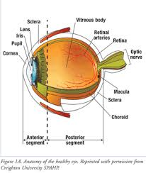 The Anatomy And Physiology Of The Eye Understanding Diabetic Retinopathy