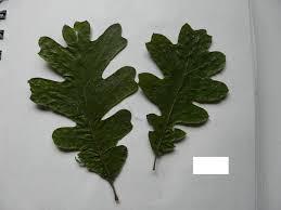 White Oak Leaf Plants U2013 The Merekat