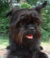affenpinscher venta mexico affenpinscher razas de perros en mexico