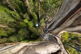 photographing one of the world s tallest trees in tasmania s styx