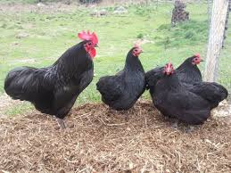 australorps charmic valley poultry