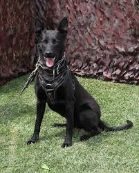 belgian shepherd dog rescue belgian malinois info temperment care puppies pictures training