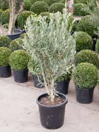 olea europaea buy olive trees plants
