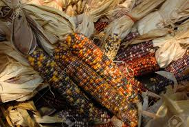 festive indian corn used for decoration during the halloween