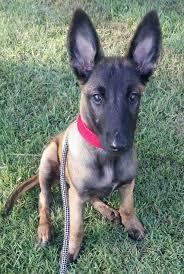 belgian malinois little rock 52 best belgian malinois dog breed images on pinterest