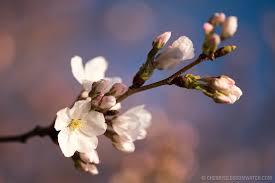 cherry blossom pics 2016 cherry blossom watch washington dc