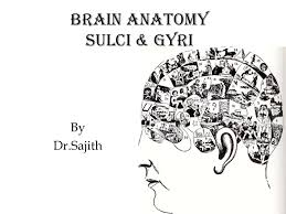 Ct Anatomy Of Brain Ppt Anatomy Of Brain Sulcus And Gyrus Dr Sajith Md Rd