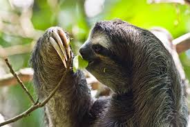 4 toed sloth sloth