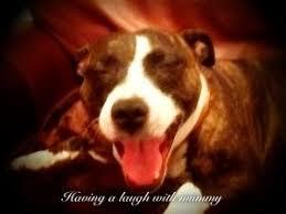 american pit bull terrier zucht labrador retriever poems u2013 dog