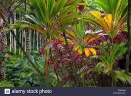native plants hawaii ti plants hawaii tropical botanical gardens hawaii the big