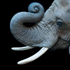 african elephant national geographic