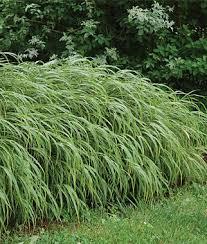 30 best perennial ornamental grasses images on garden