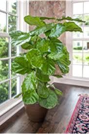 hirt s fiddleleaf fig tree ficus great indoor