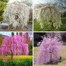aliexpress buy 20pcs bag weeping cherry tree diy