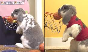 rabbit sets guinness book of world record for dunking basketballs