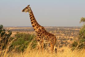 join the 1st world giraffe day and help save these gentle giants