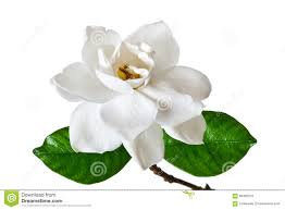 gardenia flower making gardenias add or edit text about this