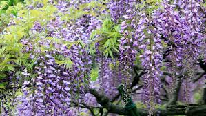 Tree With Purple Flowers Wisteria Tree With Purple Flowers Hd Wallpaper For Laptop Computer