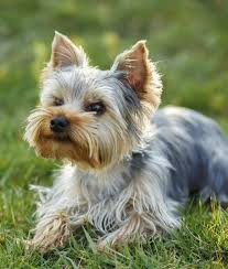 types of yorkie haircuts 10 cool facts about yorkshire terriers cute dogs and puppies