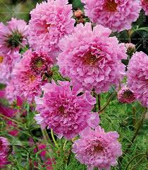 100 pcs cosmos seeds perennial flower seeds bonsai