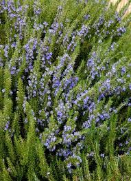 growing rosemary in the drought tolerant garden birds and blooms