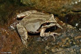identifying california frogs toads