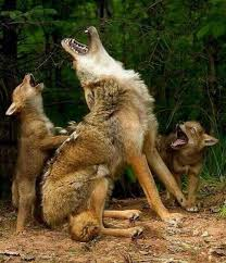 a wolf teaching cubs to howl on imgfave