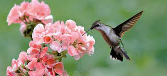 hummingbird flowers natureworks hummingbird gardening