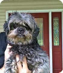 affenpinscher missouri oscar adopted dog elsberry mo lhasa apso poodle miniature mix