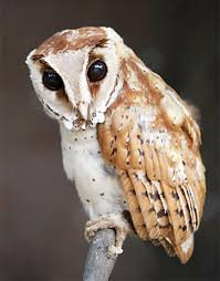 What Does A Barn Owl Look Like Bay Owl Bird Britannica Com