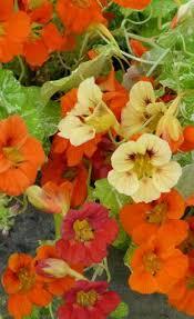 nasturtium u0027empress of india u0027 via annie u0027s annuals in a posting
