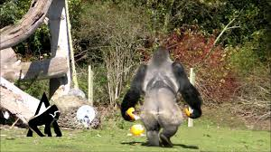 famous walking gorilla halloween special youtube