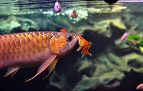 most beautiful freshwater fish all time ratemyfishtank