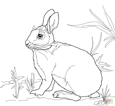 cottontail marsh rabbit coloring page free printable coloring pages
