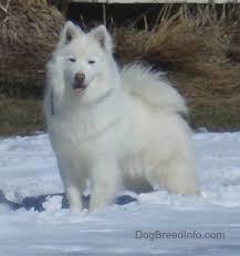 american eskimo dog houston 44 american eskimo dog