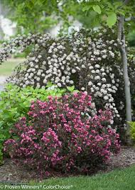 Patio Tree Rose by Summer Wine Ninebark Physocarpus Opulifolius Proven Winners