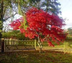 japanese trees japanese maple trees for sale choose your japanese