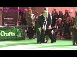 australian shepherd crufts 2016 53 best crufts 2017 images on pinterest newspaper php and bobs