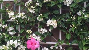 native plants madagascar wall of madagascar jasmine stephanotis floribunda il