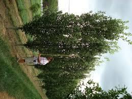 fastigiate trees