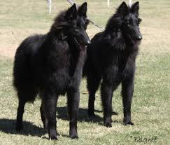 belgian sheepdog origin belgian shepherd dogs breeds pets