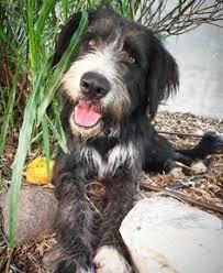bearded collie adoption adopt spirit on collie
