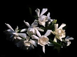 gardenia bouquet fresh cut gardenia bouquet photograph by deborah smith