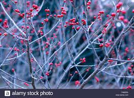 ilex verticillata winterberry mid shot of winter branches with