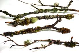 10 branches and twigs covered in natural lichen and moss for