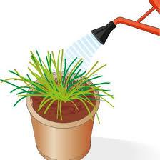erba cipollina in vaso erbe aromatiche dal terreno al vaso cose di casa
