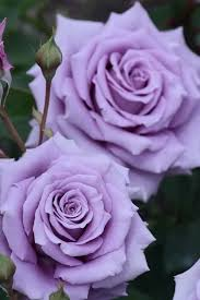 purple roses sweet moon hybrid tea lilac kikuo teranishi japan