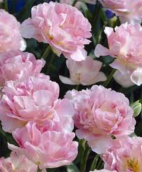 pianese flowers peony flowering tulips tulips flower bulb index