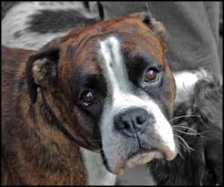 boxer dog grooming boxer dog grooming instruction